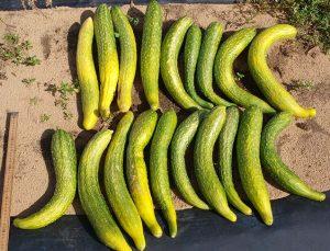 Fruit Size QTL